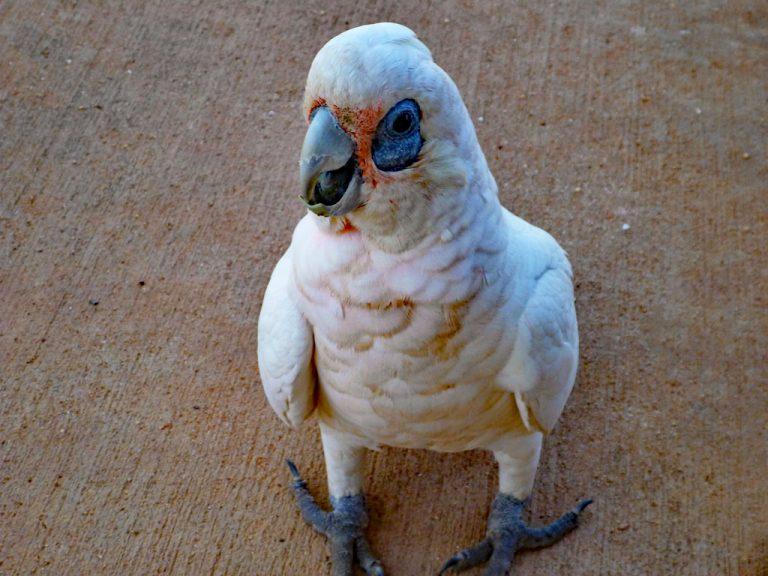 Nacktaugen-Kakadu im Cape Range Nationalpark