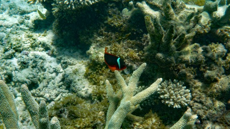 Australischer Clownfisch bei Oyszer stacks, Cape Range Nationalpark