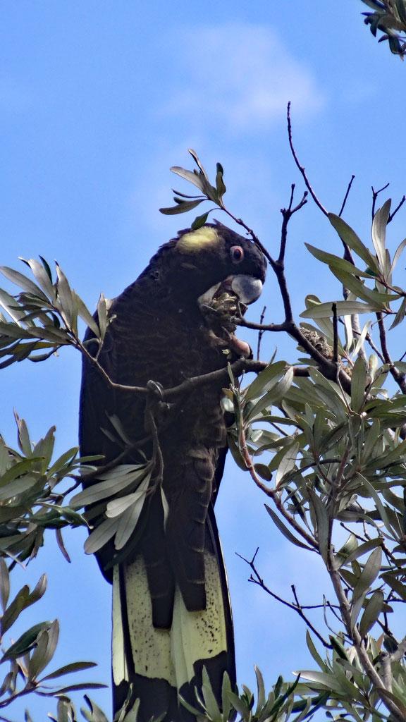 Gelbwangen Kakadu, Ben Boyd Nationalpark