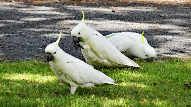Ben Boyd Nationalpark, Kakadus, Eden, New South Wales, Australien