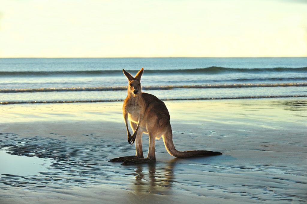Boomerang Reisen - Känguru am Strand