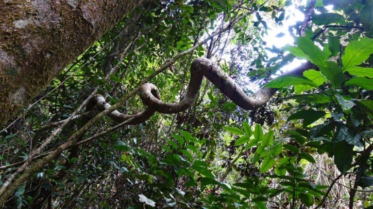 Regenwald - Liane im Eungella Nationalpark