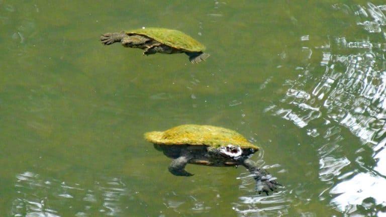 Schildkröten im Broken River - Eungella Nationalpark