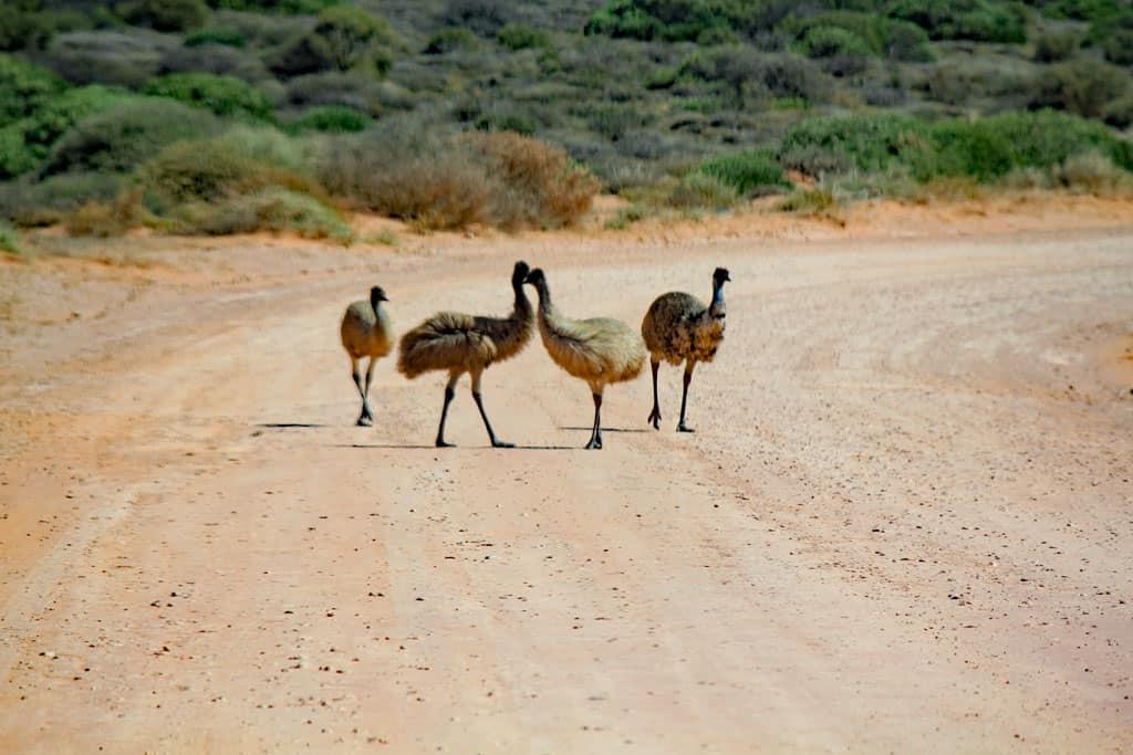 Emu, Shark Bay, Denham, Western Australia