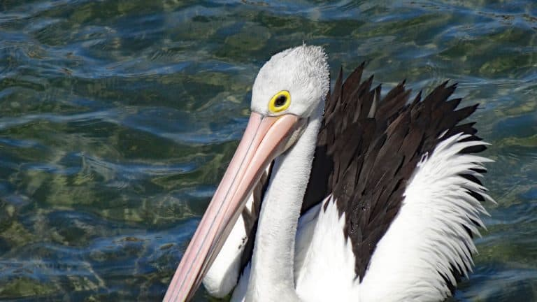 Pelikan, Batemans Bay