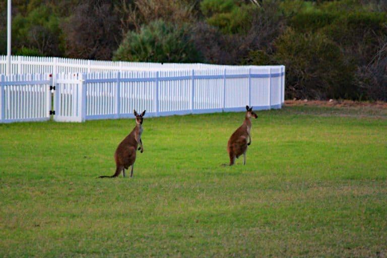Kängurus im Kalbarri Nationalpark, Westküste Australien