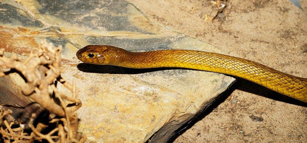 Inlandtaipan - giftige Tiere in Australien