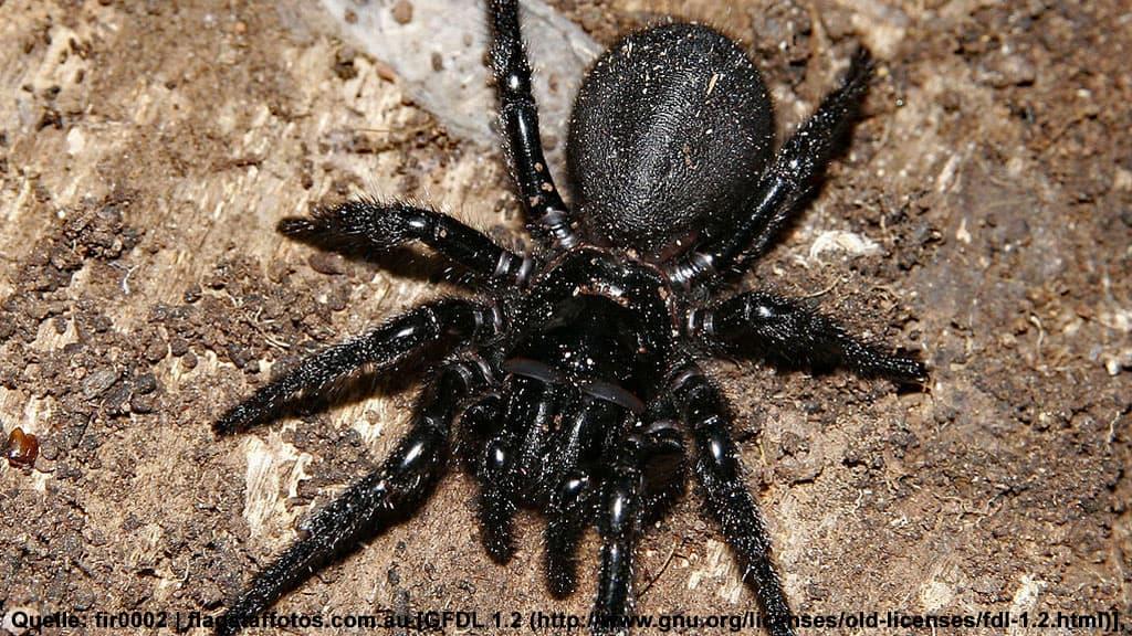 Trichternetzspinne, funnelweb spider, Australien