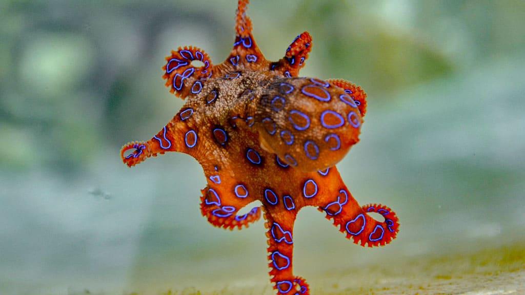 Blauring Krake, blue ringed octopus, Australien