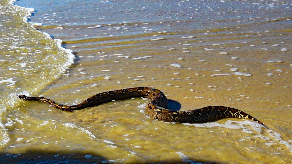 Seeschlange Australien, sea snake