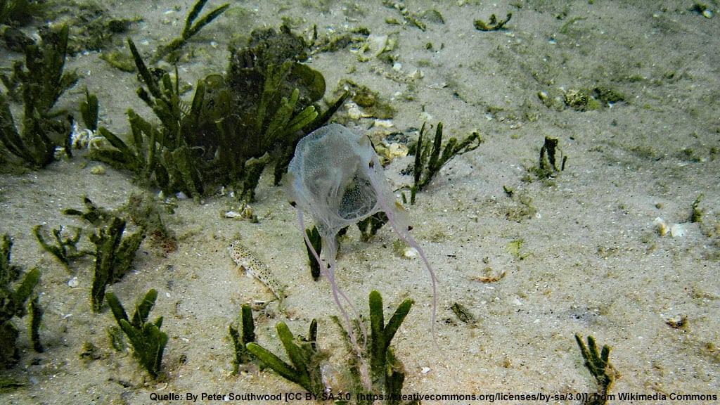 Würfelqualle, seewespe, box jellyfish, Australien