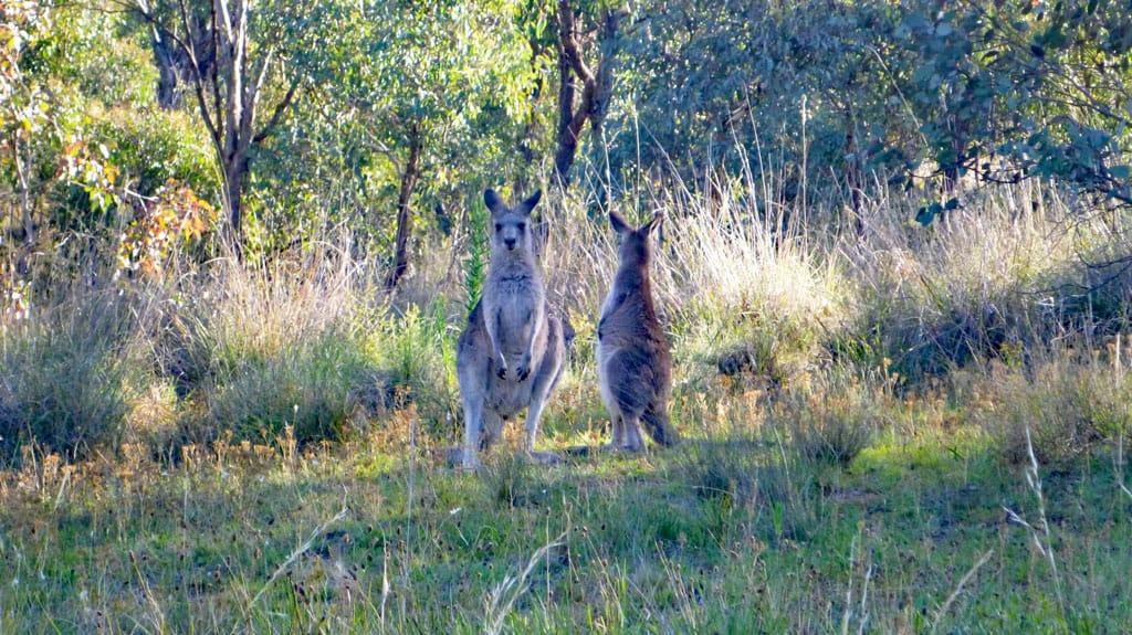 Kängurus in Canberra