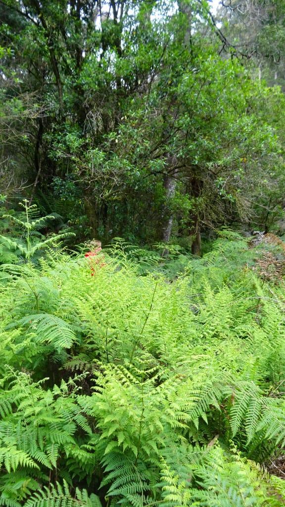 Farne im Great Otway NP, Australien
