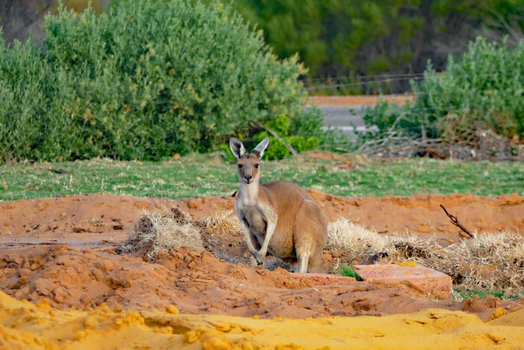 Känguru im Kalbarri Nationalpark am Red Bluff