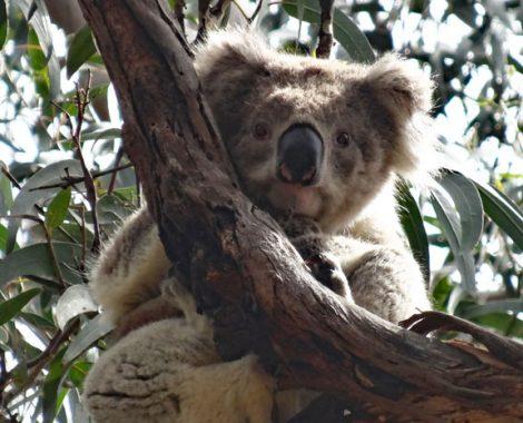 Koala in der Grey River Road