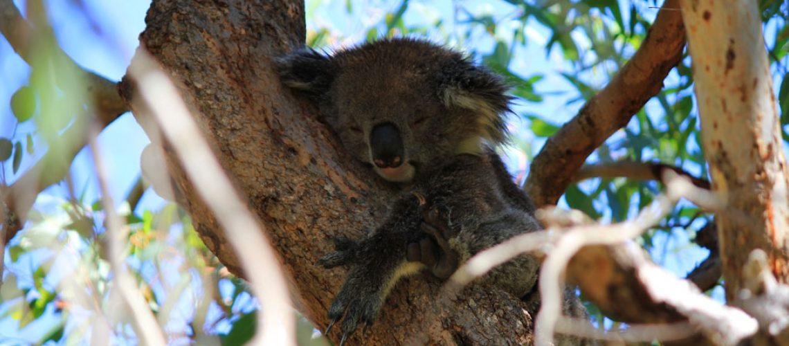 Tipps Jetlag Australien- schlafender Koala